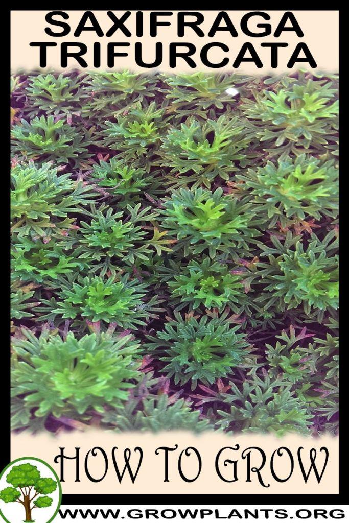 How to grow Saxifraga trifurcata