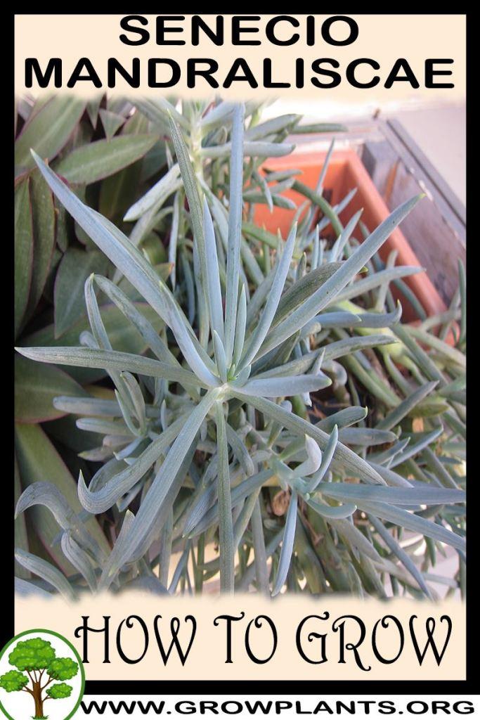 How to grow Senecio Mandraliscae