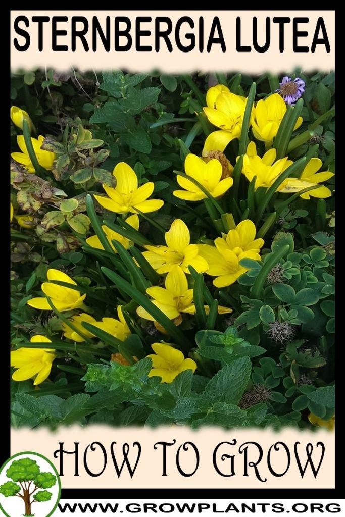 How to grow Sternbergia lutea