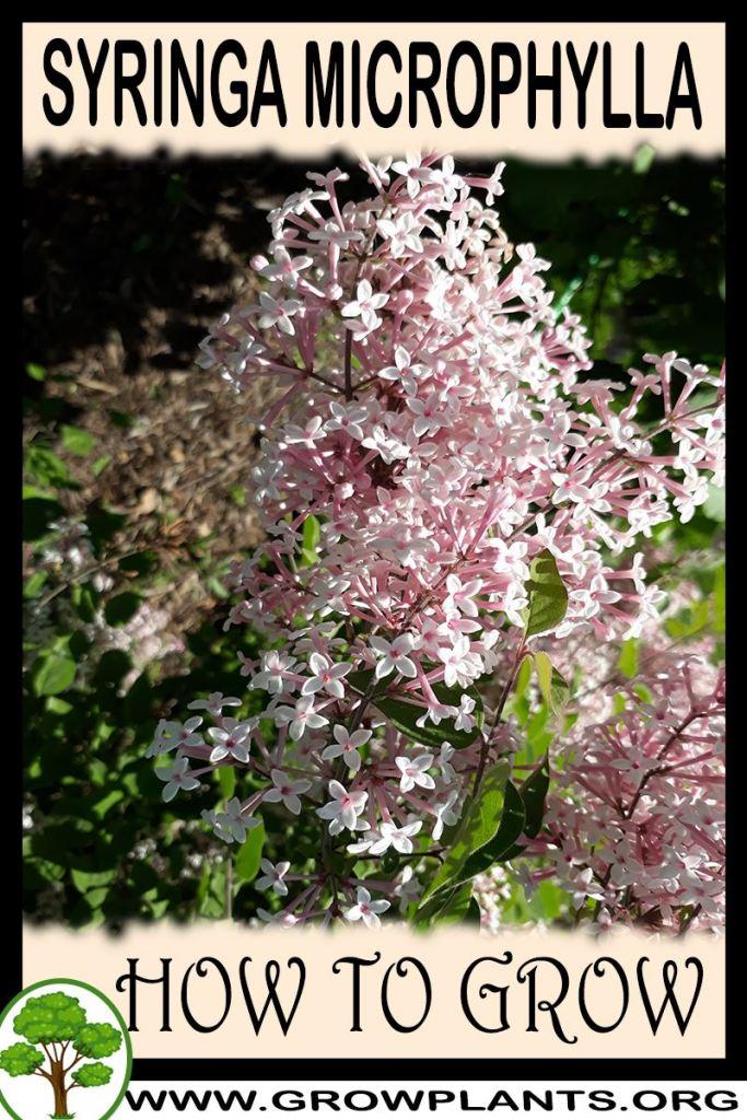 How to grow Syringa microphylla