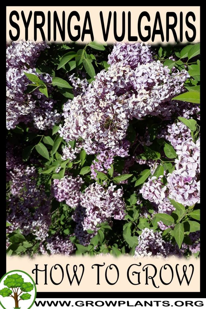 How to grow Syringa vulgaris
