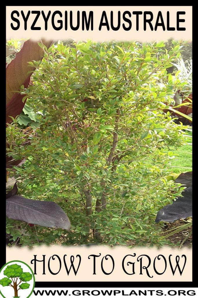 How to grow Syzygium australe