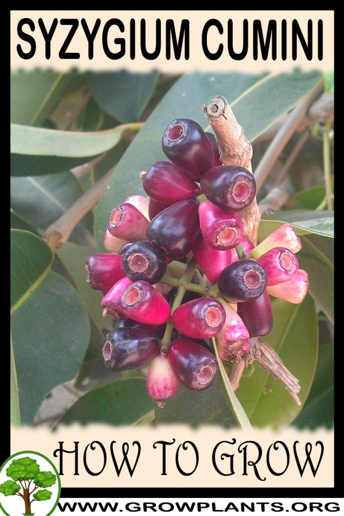 How to grow Syzygium cumini