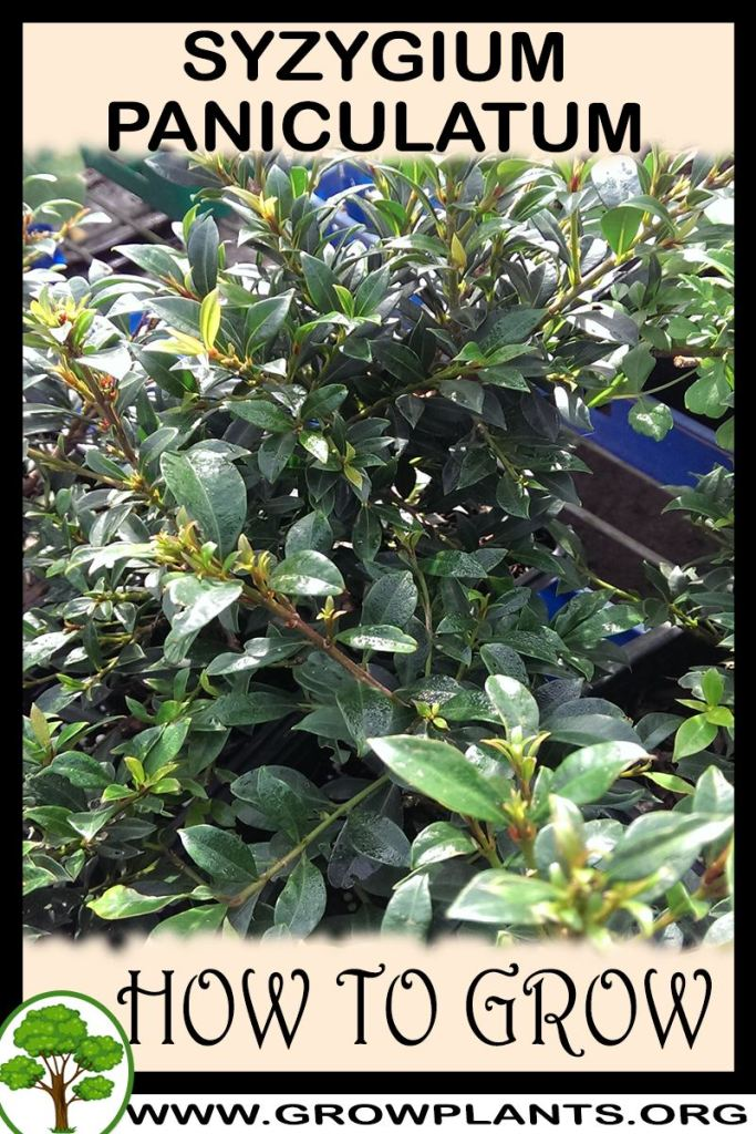 How to grow Syzygium paniculatum