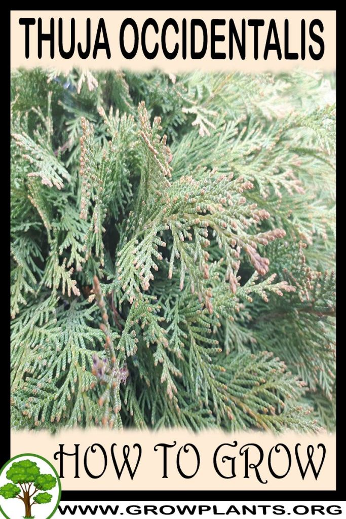 How to grow Thuja occidentalis