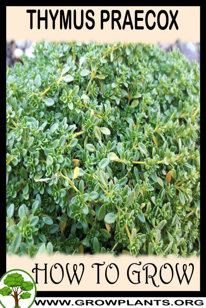 How to grow Thymus praecox