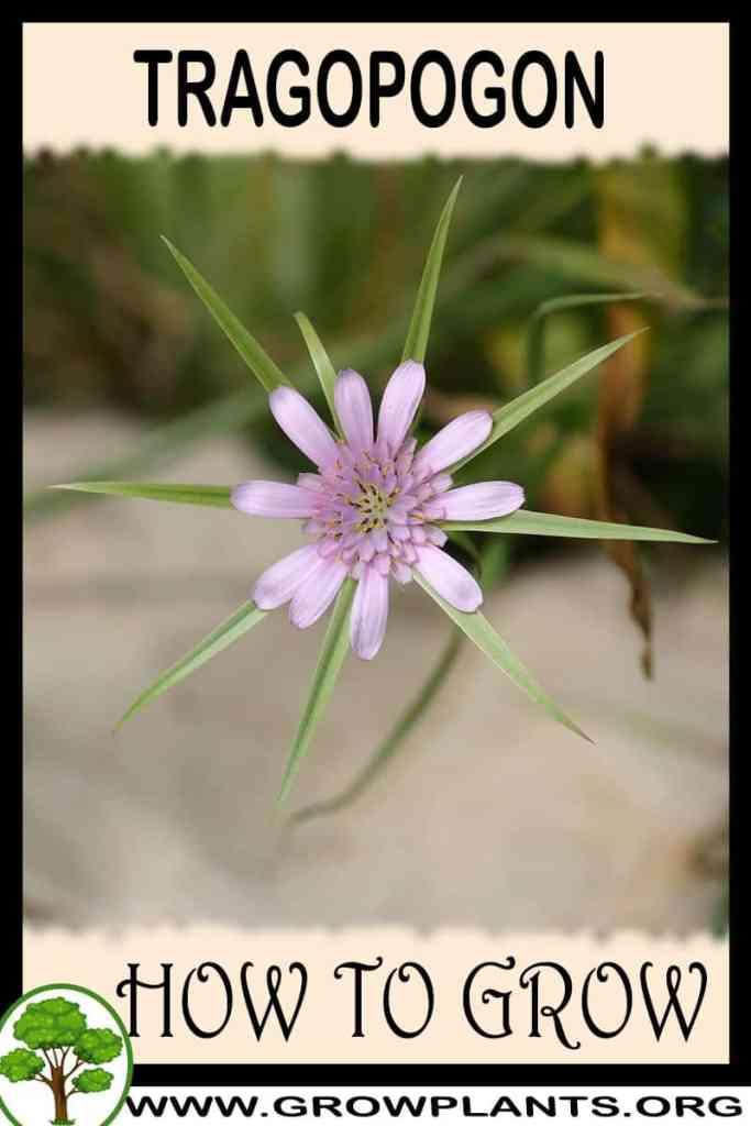 How to grow Tragopogon