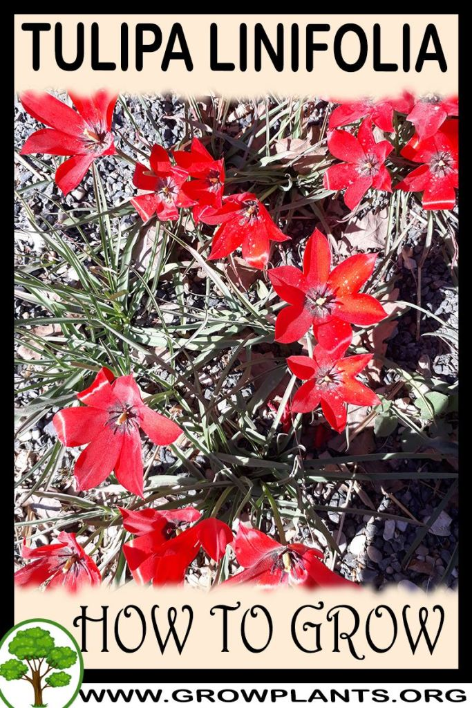 How to grow Tulipa linifolia
