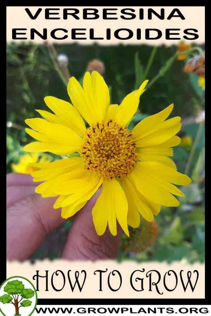 How to grow Verbesina encelioides