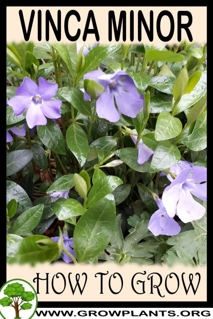 How to grow Vinca minor