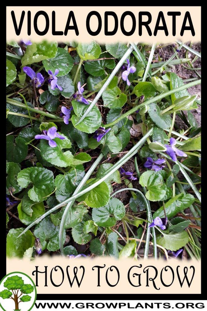How to grow Viola odorata