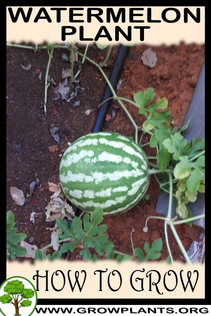 How to grow Watermelon plant