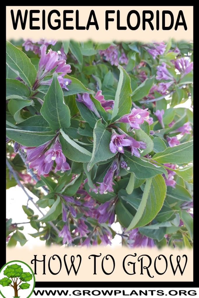 How to grow Weigela florida
