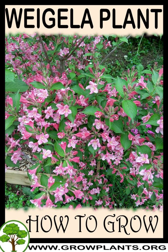 How to grow Weigela