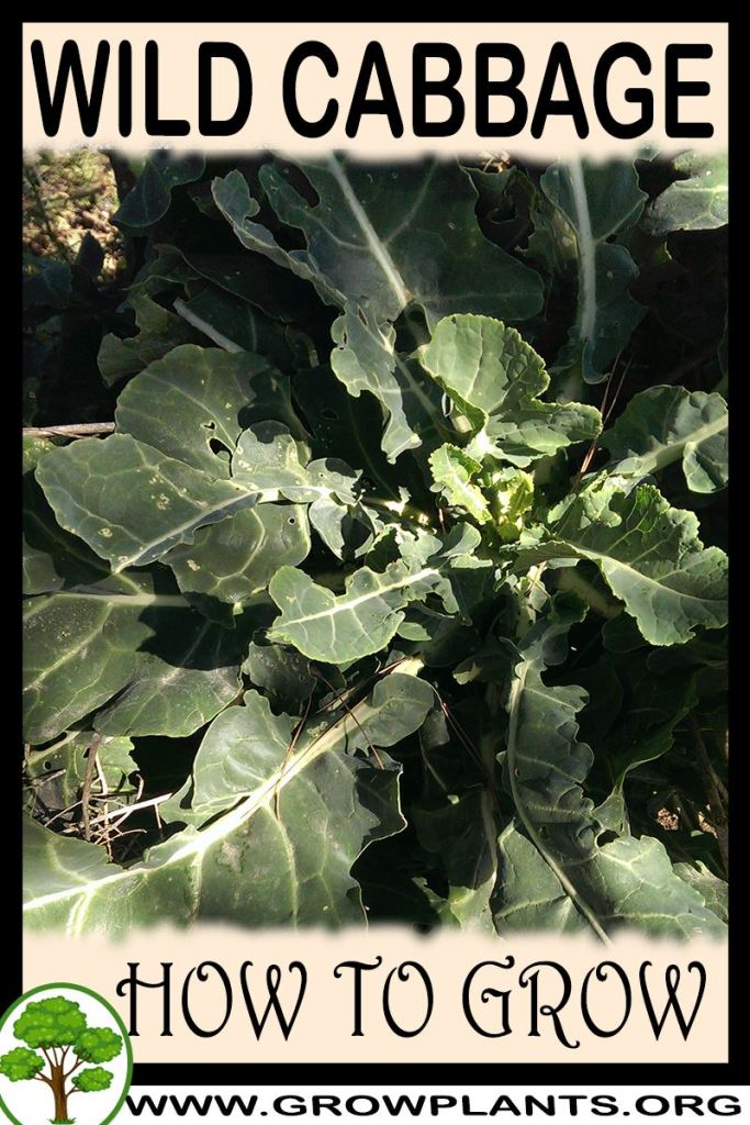 How to grow Wild cabbage