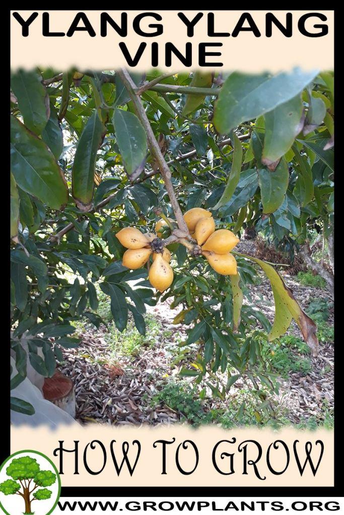 How to grow Ylang ylang vine
