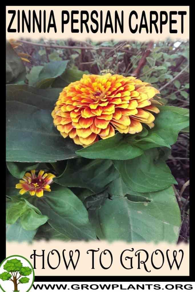 How to grow Zinnia persian carpet