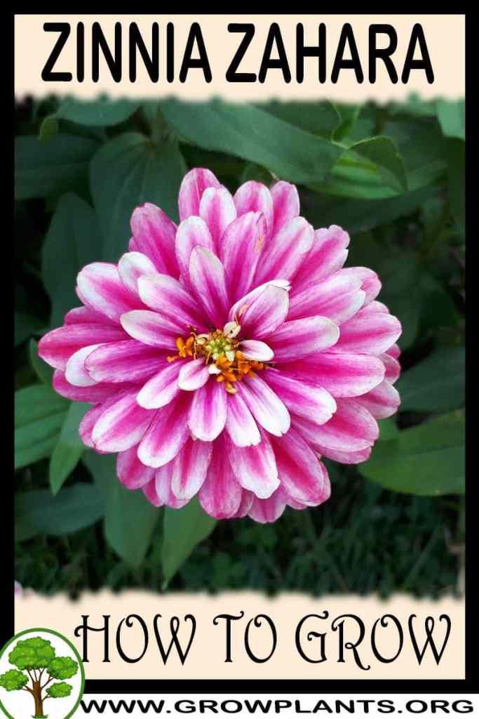 How to grow Zinnia zahara