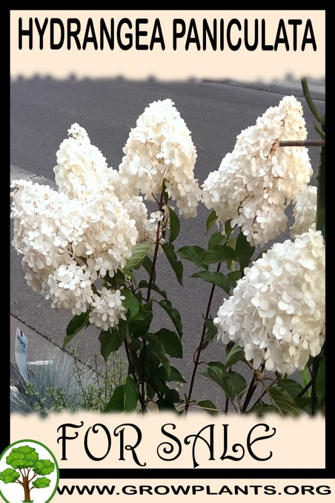 Hydrangea paniculata for sale