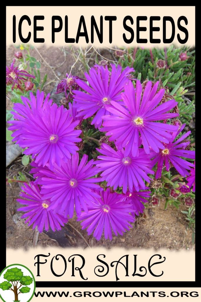 Ice plant seeds for sale