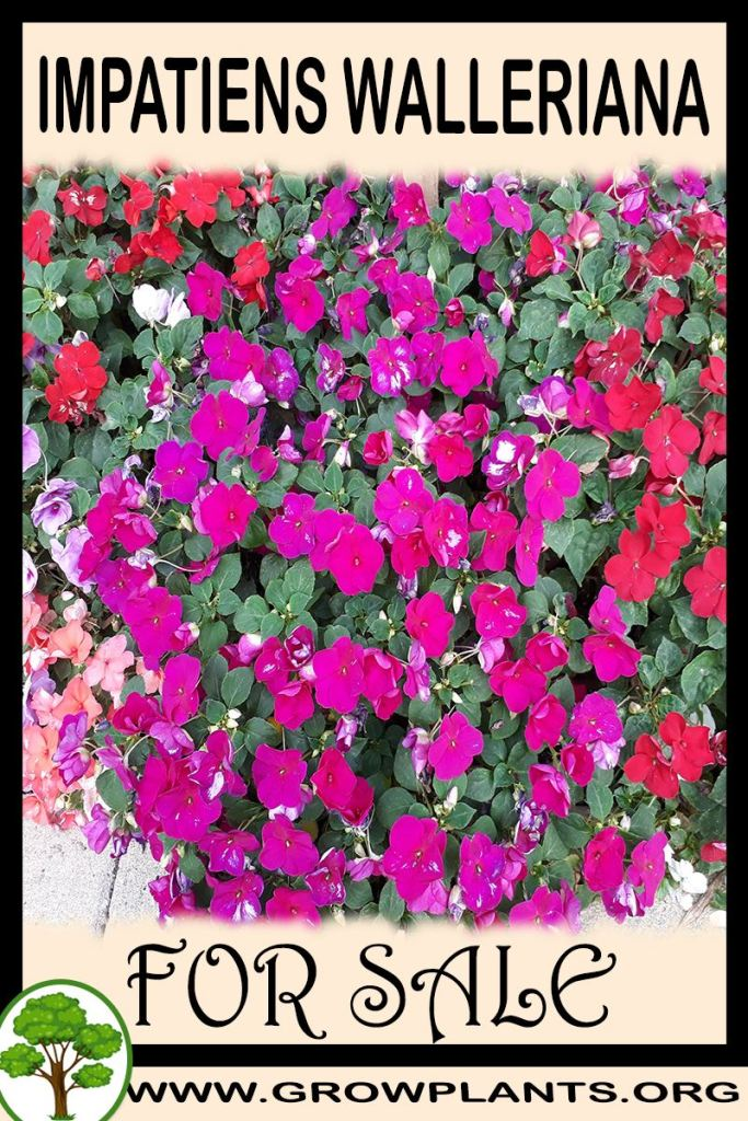 Impatiens walleriana for sale
