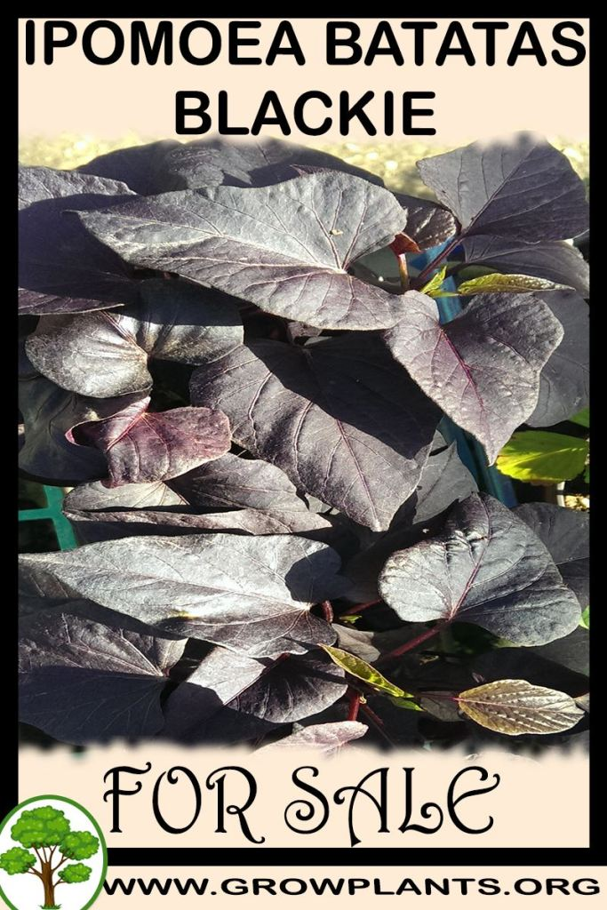 Ipomoea batatas Blackie for sale
