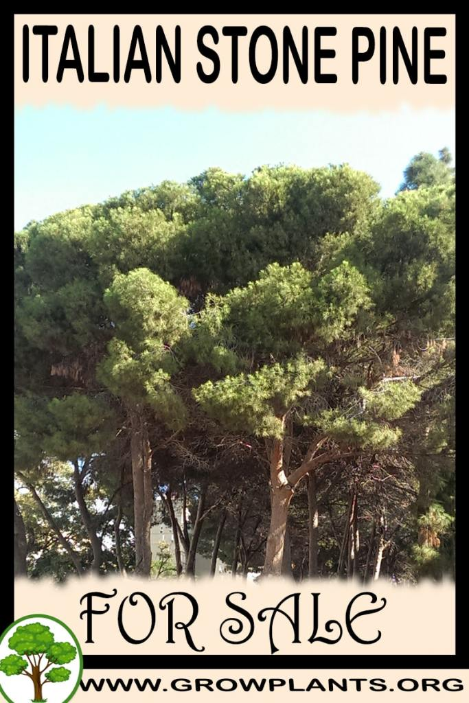 Italian stone pine for sale