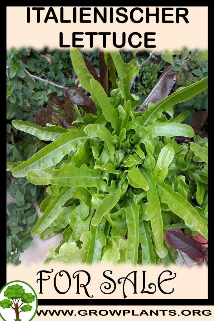 Italienischer lettuce for sale