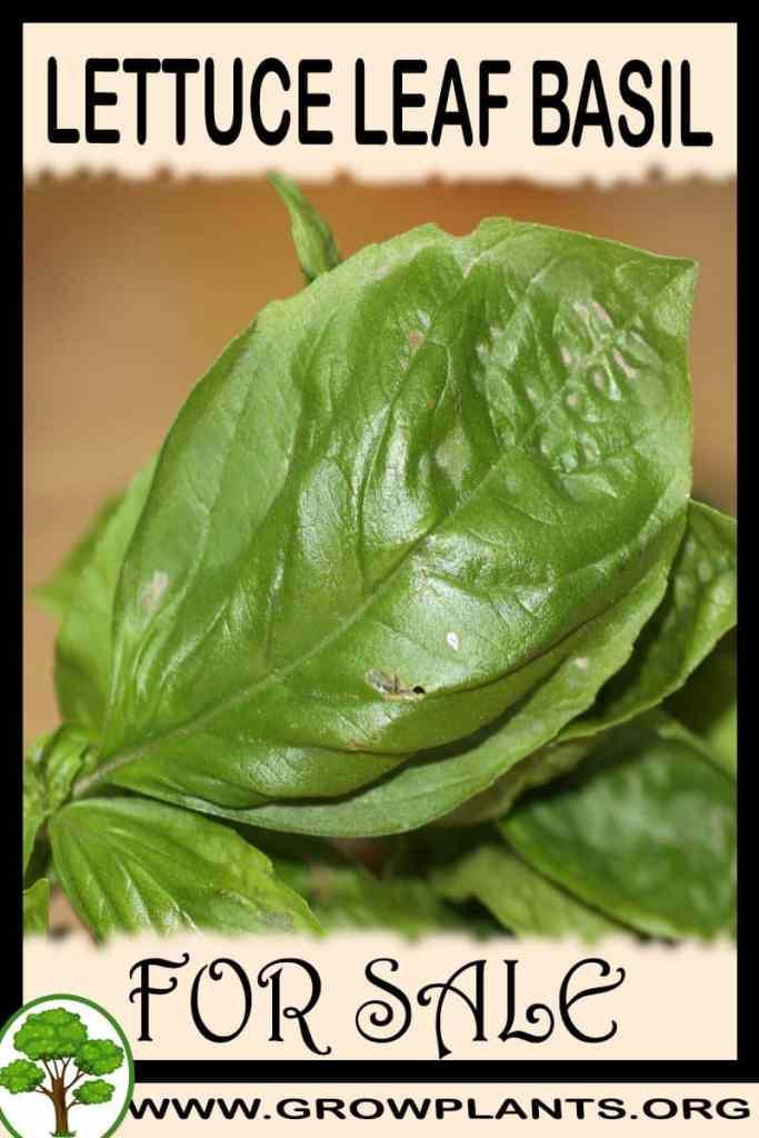 Lettuce leaf basil for sale