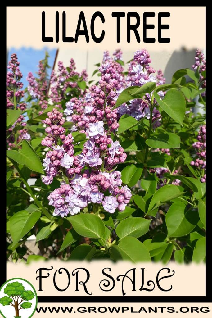 Lilac tree for sale