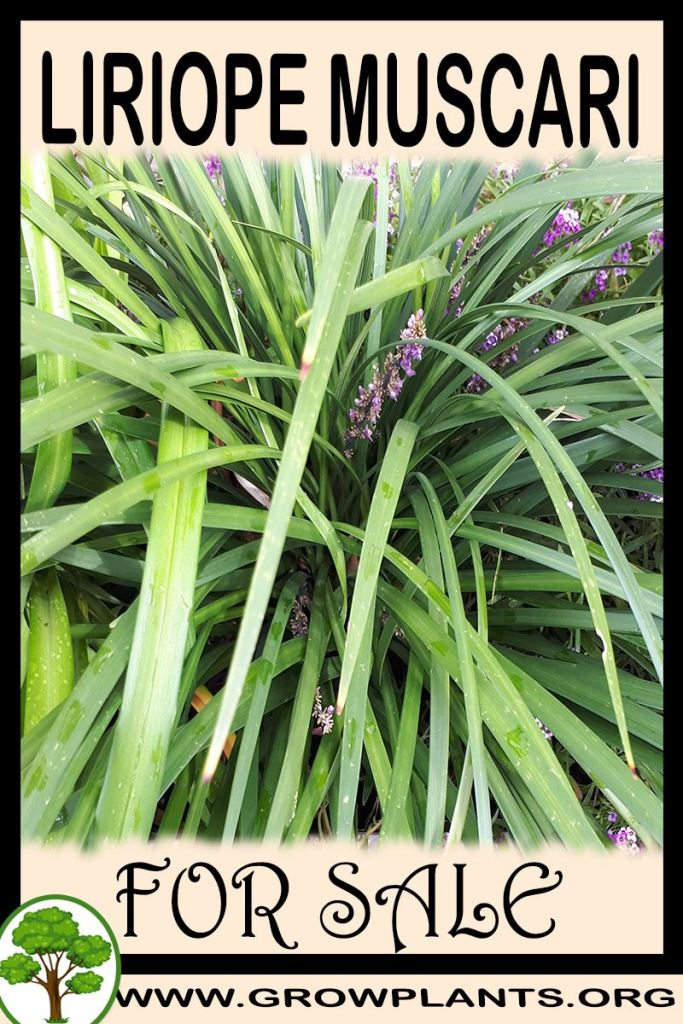 Liriope muscari for sale