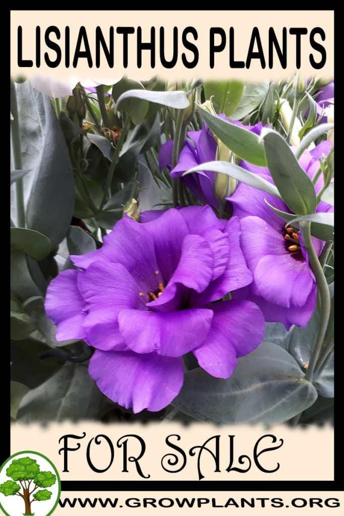 Lisianthus plants for sale