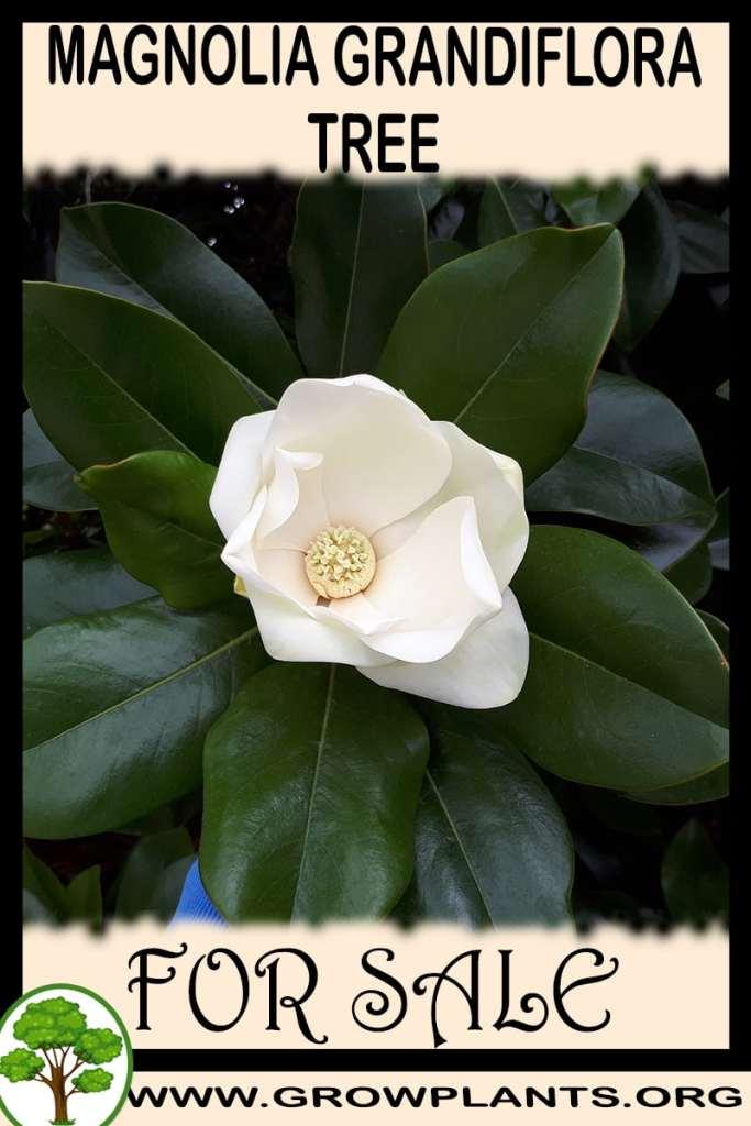 Magnolia grandiflora tree for sale