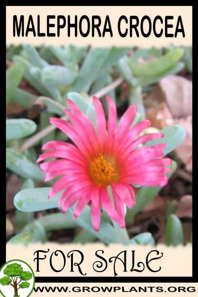 Malephora crocea for sale