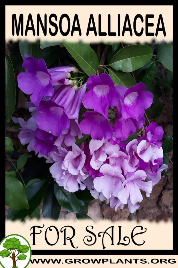 Mansoa alliacea for sale