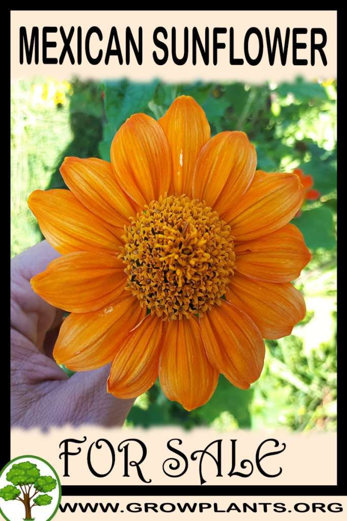 Mexican sunflower for sale