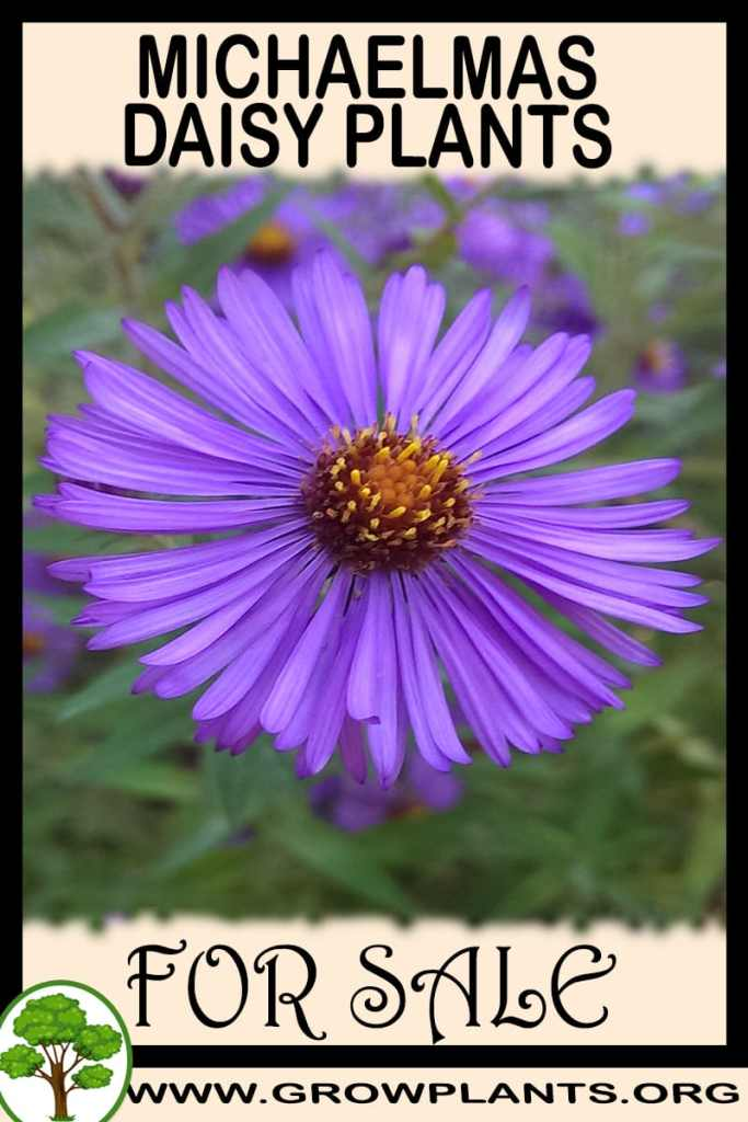 Michaelmas daisy plants for sale