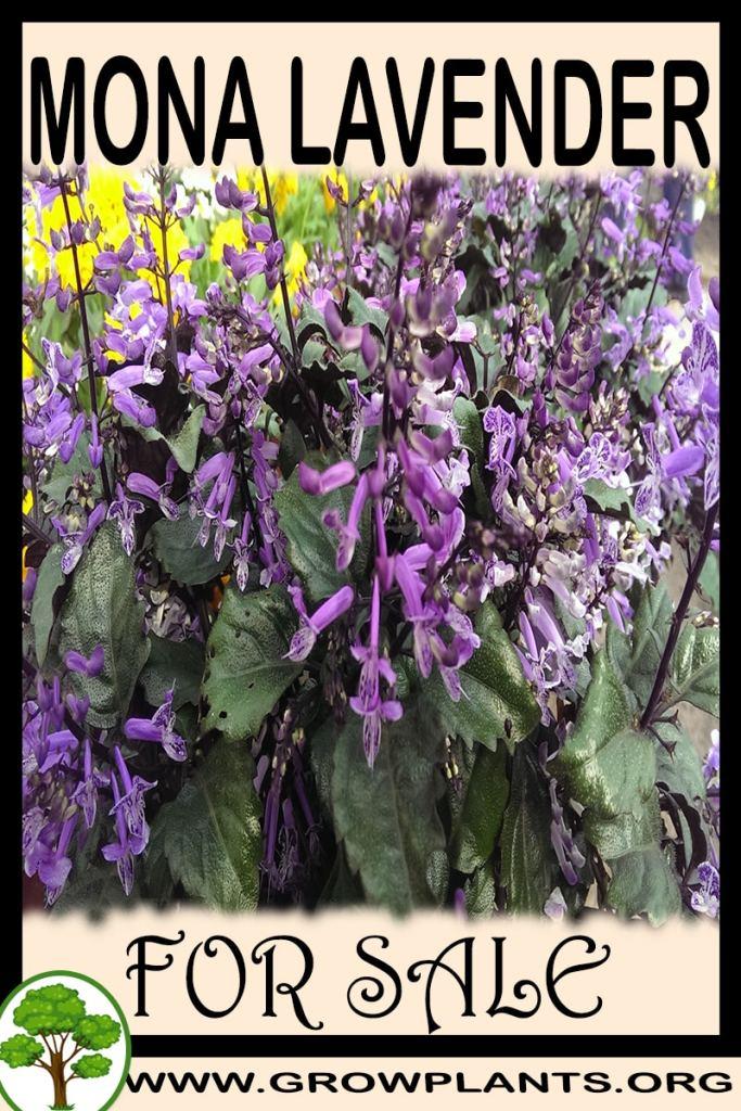Mona lavender for sale