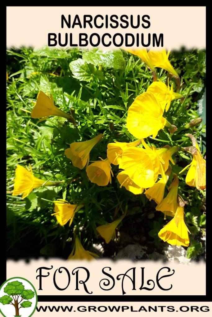 Narcissus bulbocodium for sale