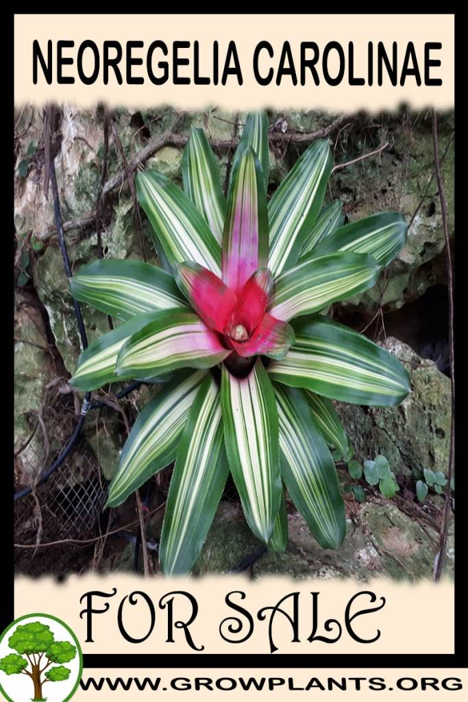 Neoregelia carolinae for sale