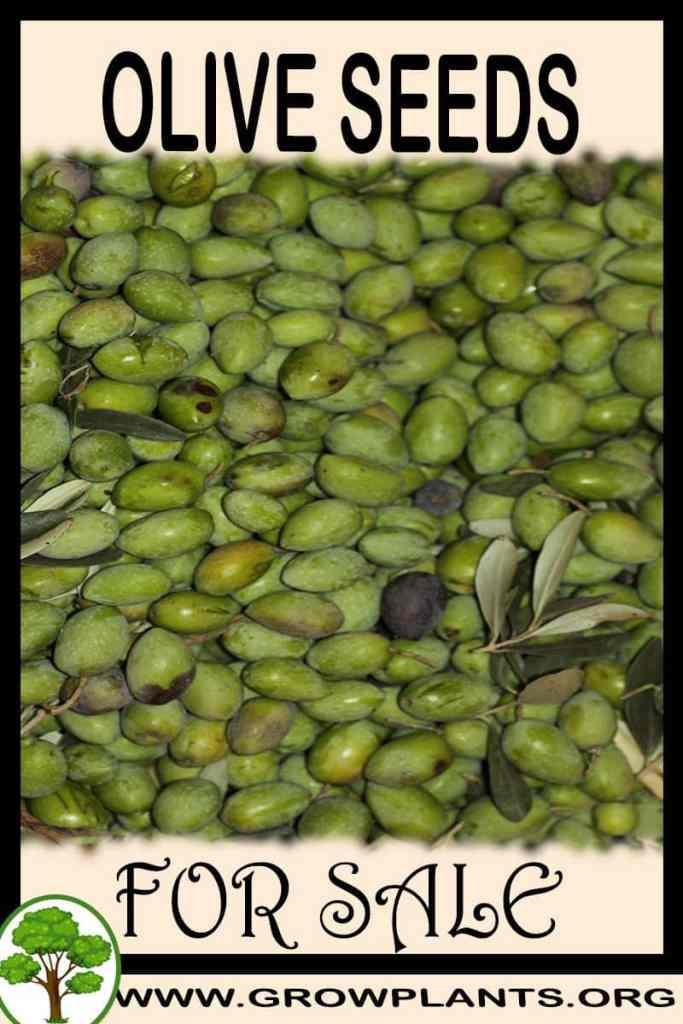 Olive seeds for sale
