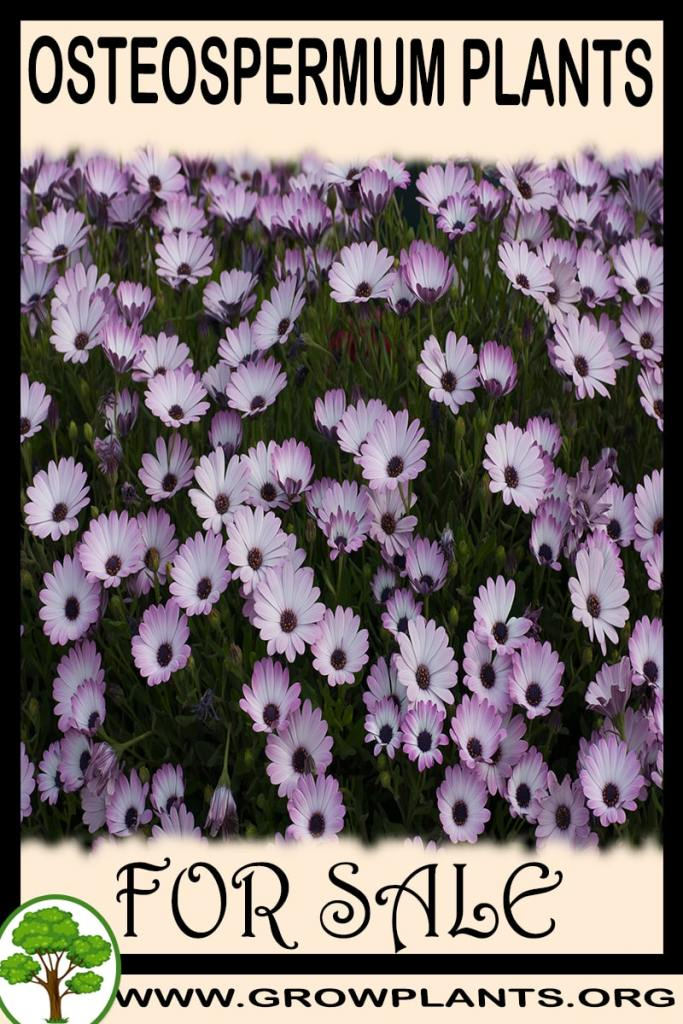 Osteospermum plants for sale