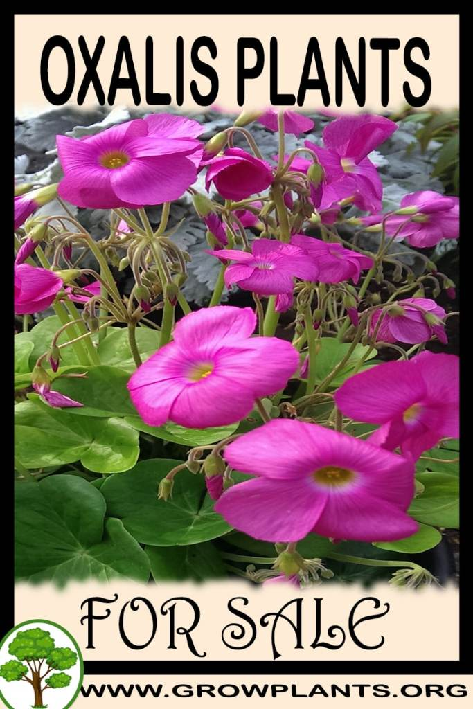 Oxalis plants for sale