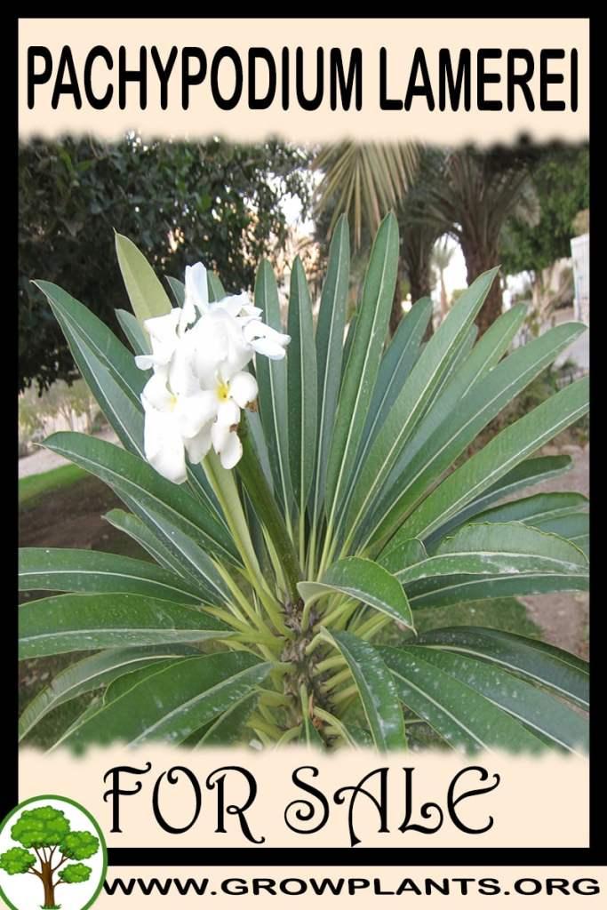 Pachypodium lamerei for sale