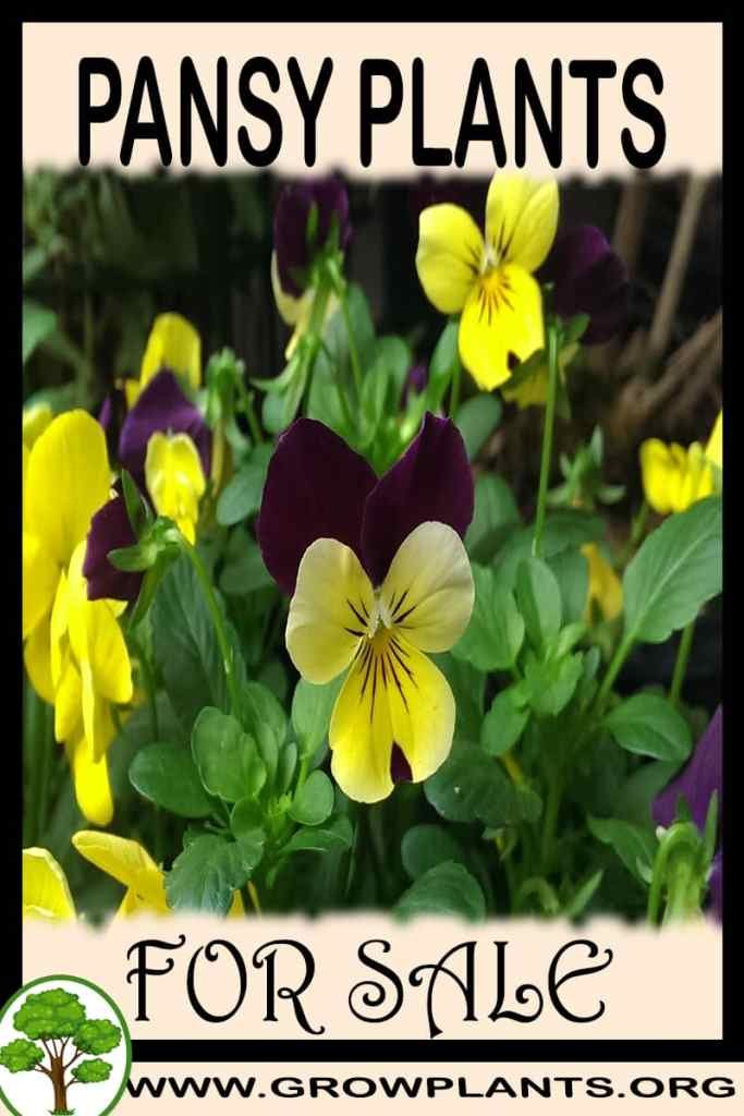 Pansy plants for sale