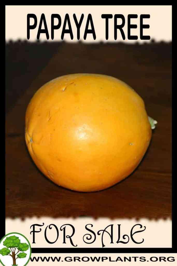 Papaya tree for sale