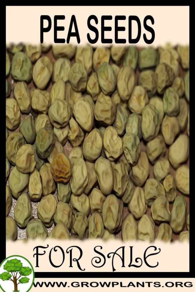 Pea seeds for sale