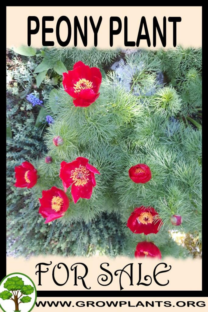 Peony plant for sale