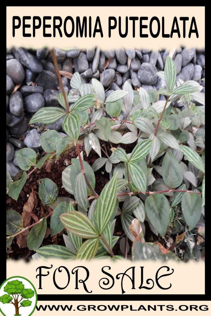Peperomia puteolata for sale