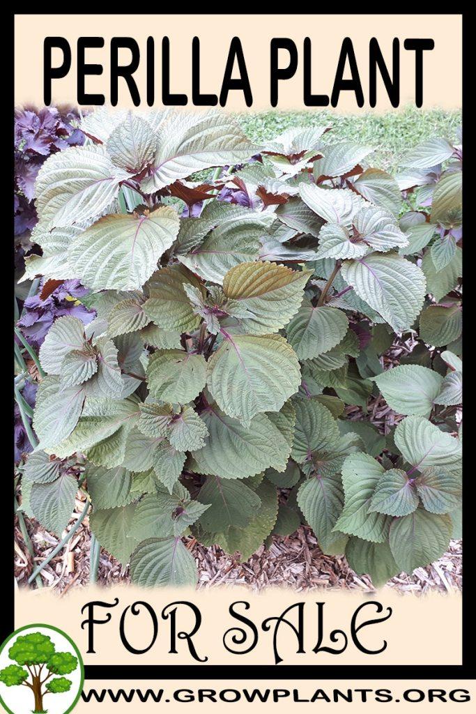 Perilla plant for sale